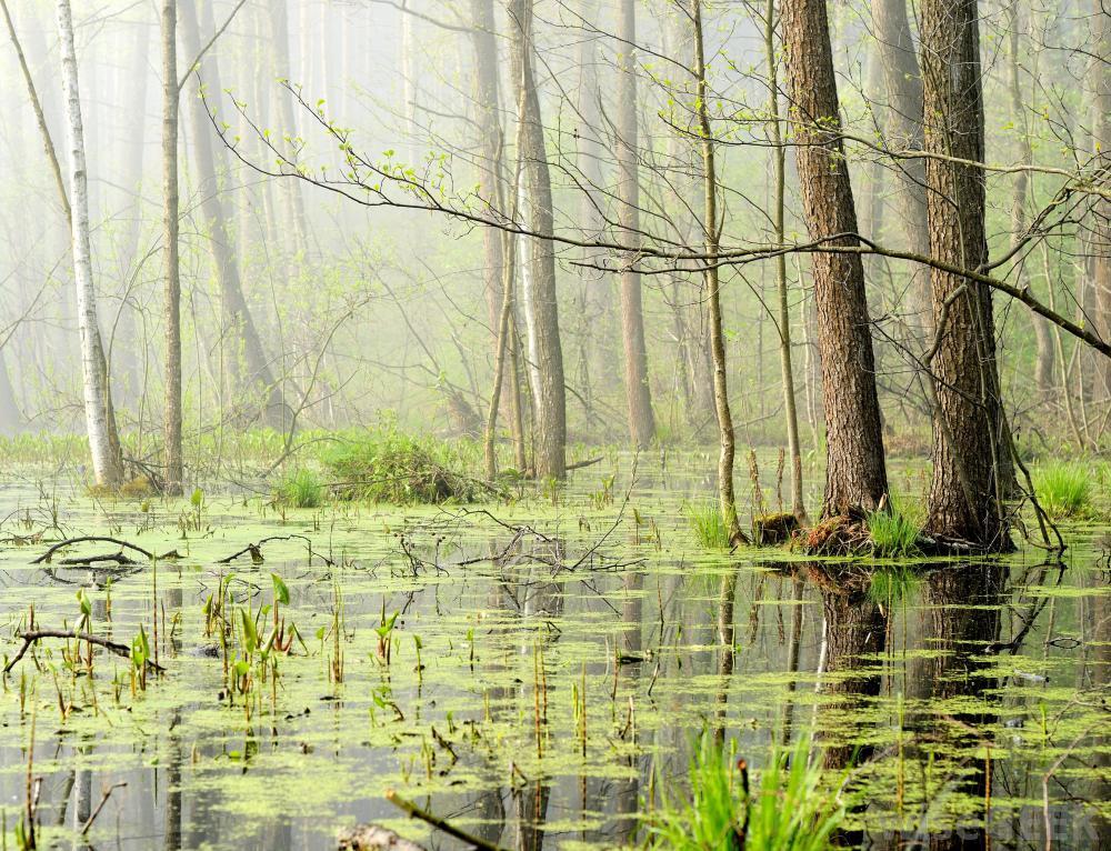 Pantanos o ciénagas de agua dulce humedales